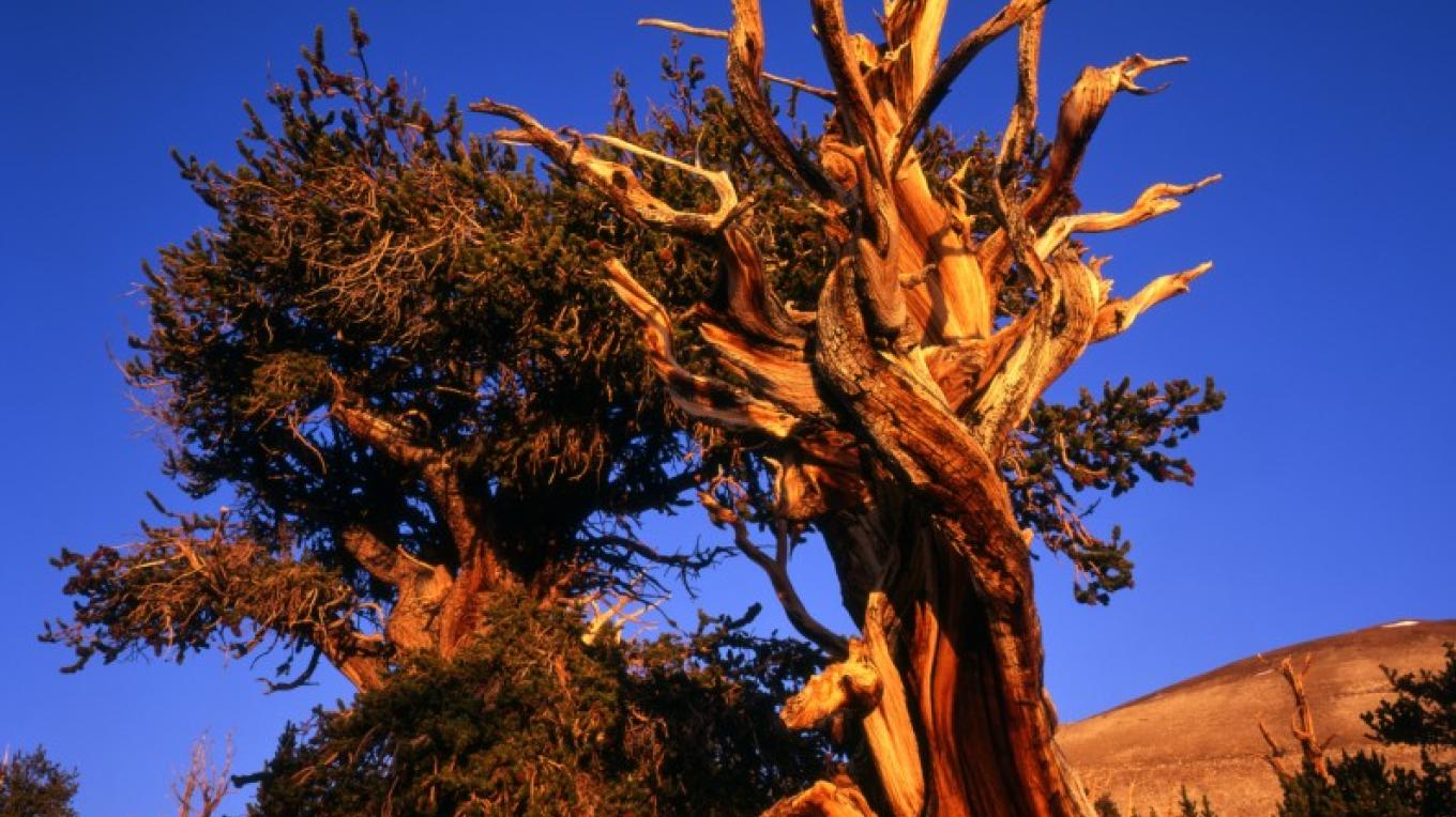 The Bristlecone Pine trees have survived for thousdands of years in their dry, high altitude groves.