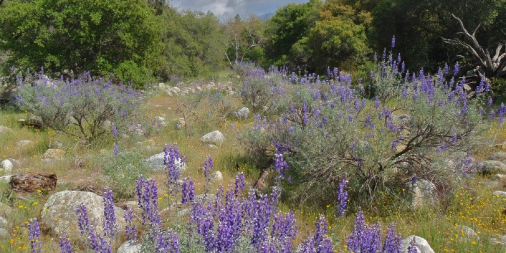 Shangrila Nature Preserve: riparian corridor, ancient alluvial plain -  ten minute hike from Cottage. Spring lupine. – J. Seligman