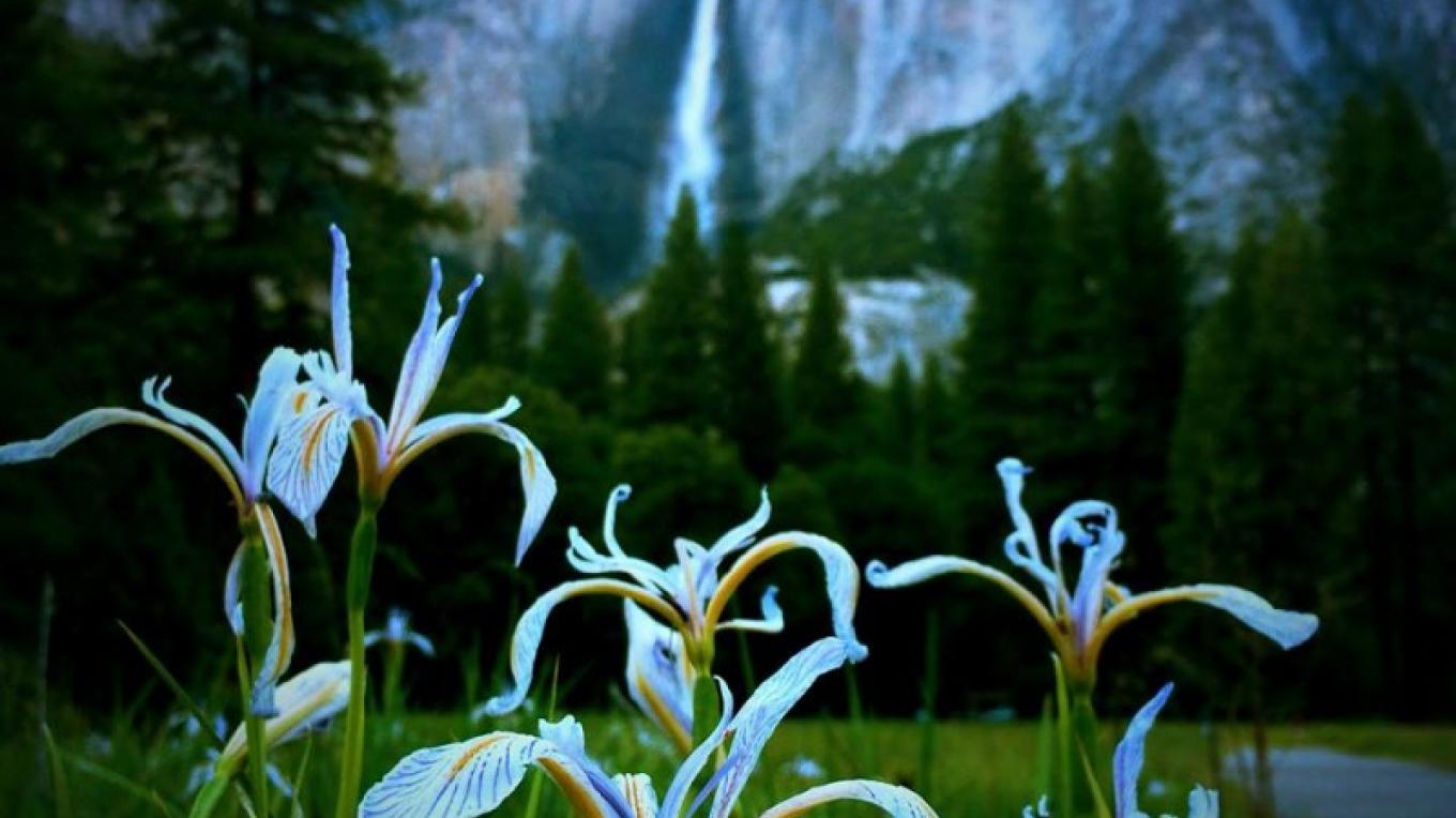 Irises in full bloom at Cook's Meadow. – www.facebook.com/YosemiteNPS