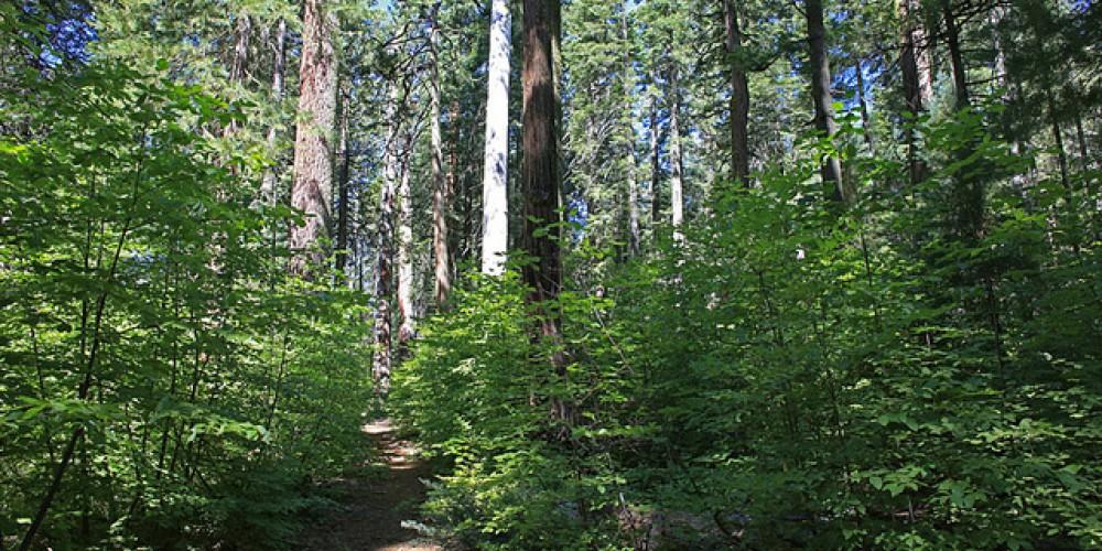 Sequoia Grove path – Ray Anderson