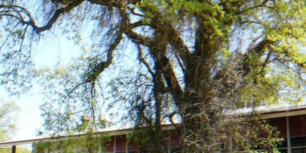 Water oak – Susan Leeper