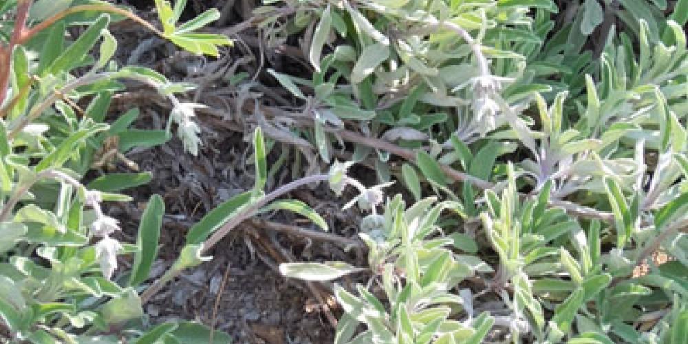 Bees Bliss Sage growing in the garden. – Elsah Cort