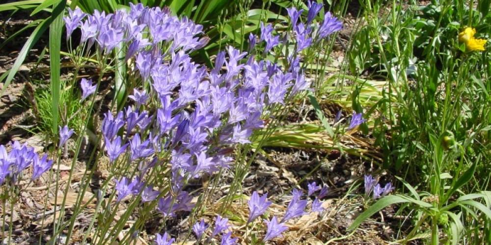 Ithuriel's Spear (Triteleia laxa) in a native plant garden, via the CNPS Grow Natives Blog – Arvind Kumar