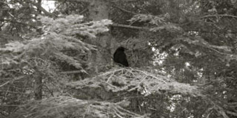Raven in the Park, Sequoias, 2010 – Shirley A. Blair Keller