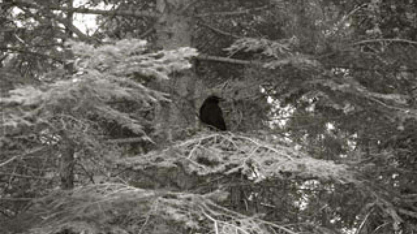 Raven in the Park, Sequoias, 2010 – Shirley A. Blair Keller