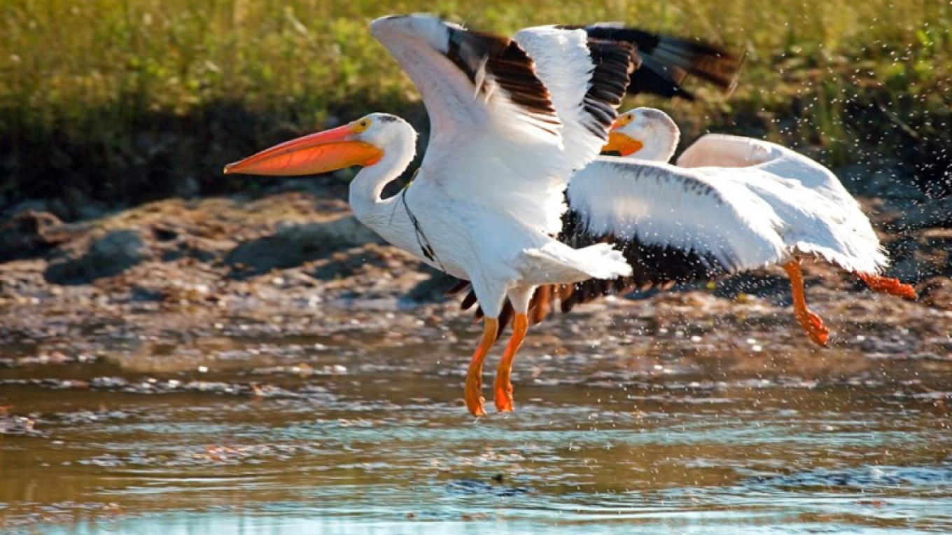 White Pelicans stop by in the Valley – Darby Hayes