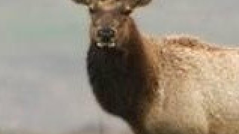 A large bull Tule elk. – Calif. Dept. of Fish and Game