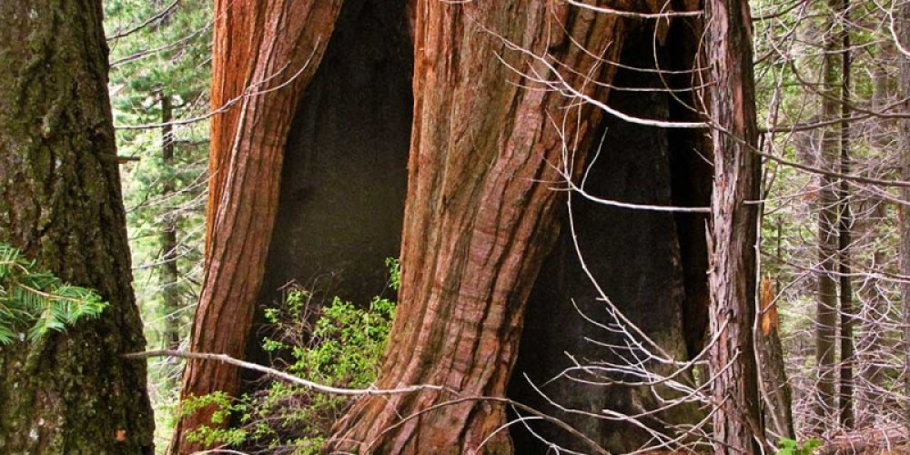 Fire scars on sequoias are sometimes called cat faces. – NPS/Rick Cain
