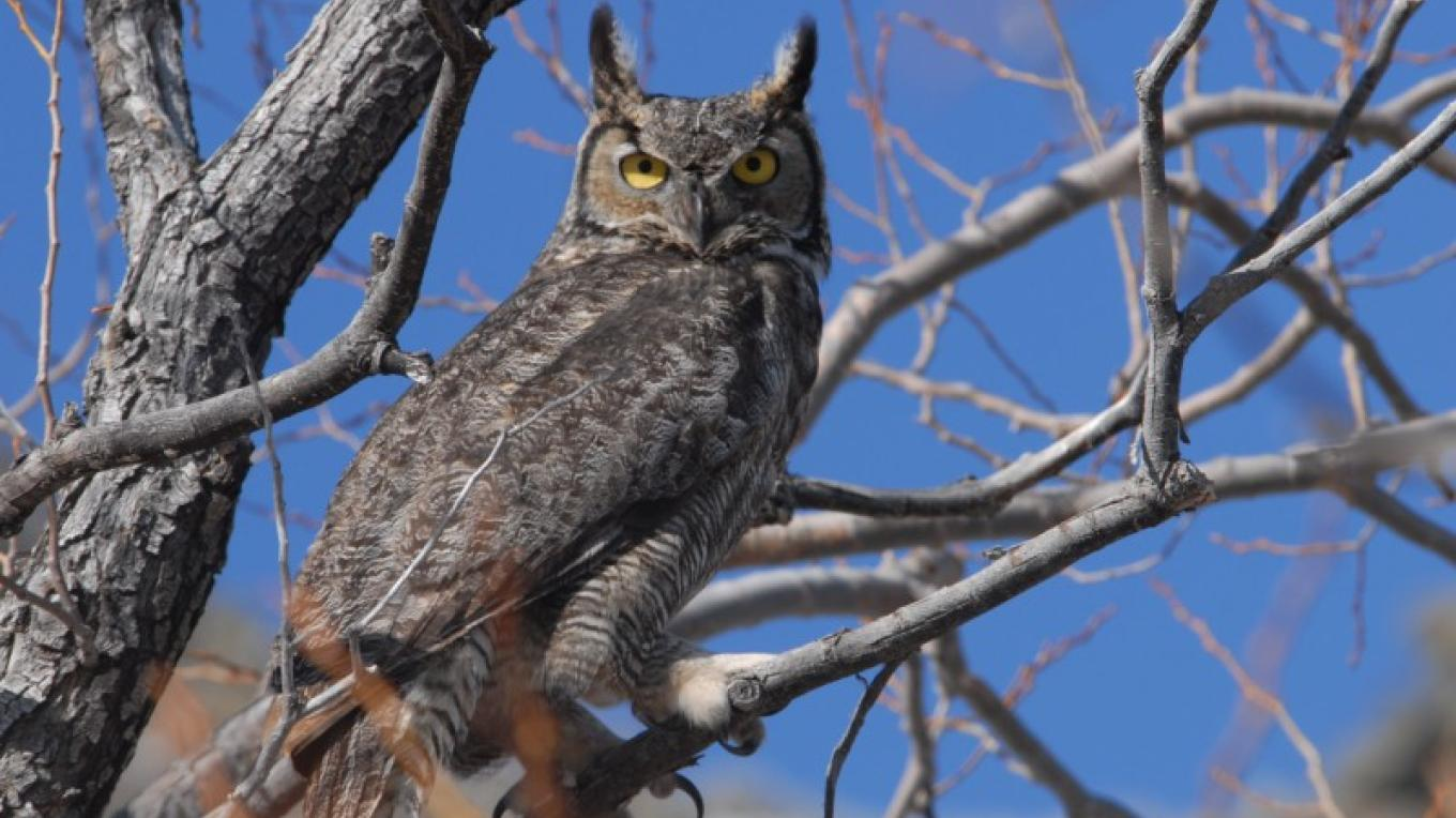 Great Horned Owl – by Dave Menke