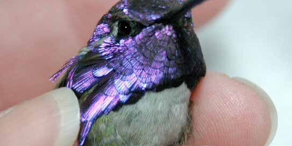 Adult male Costa\'s Hummingbird, just one of the many hummingbirds captured and banded – Barbara Robinson