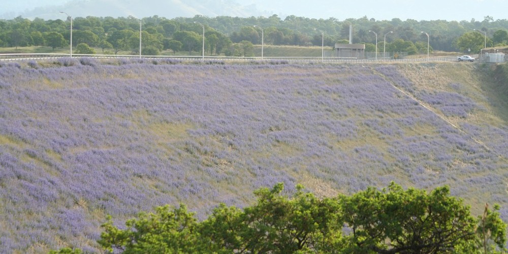 Spring time wildflowers (lupine) cover the face of the dam. – Carol Russell