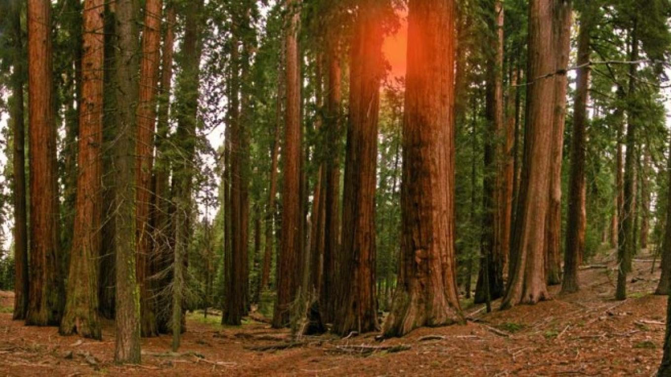 The Sugar Bowl is a grove within the larger Redwood Mountain Grove of giant sequoias in Kings Canyon National Park – NPS/Rick Cain