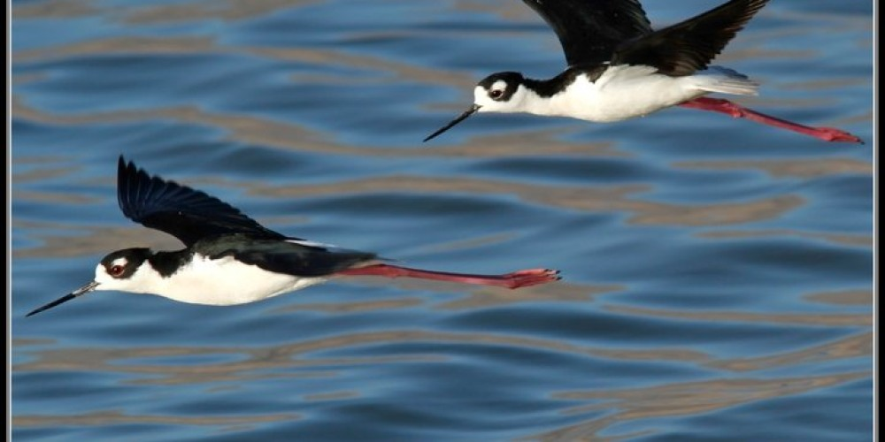 Black-necked Stilts on Owens Lake – Ali Sheehey, http://www.natureali.org/