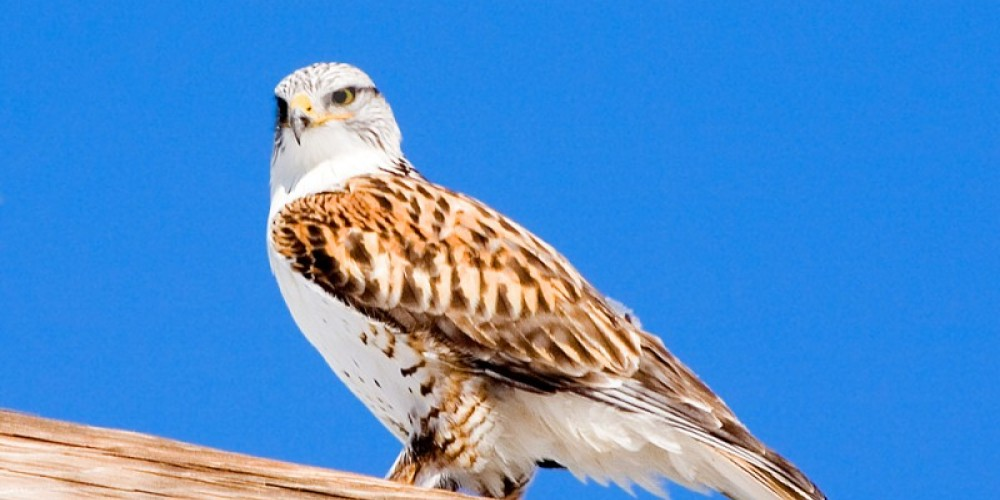 Ferruginous Hawk in Sierra Valley – Darby Hayes
