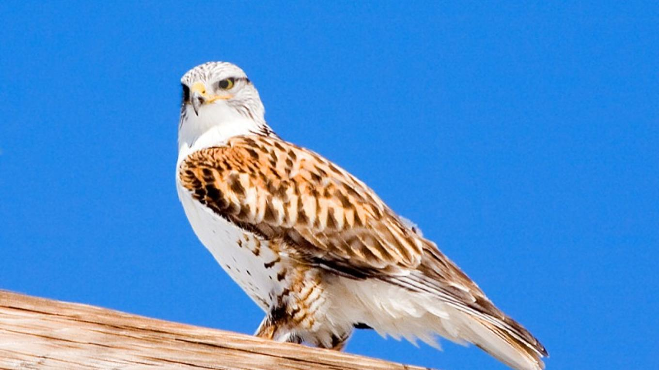 Ferruginous Hawk in Sierra Valley – Darby Hayes