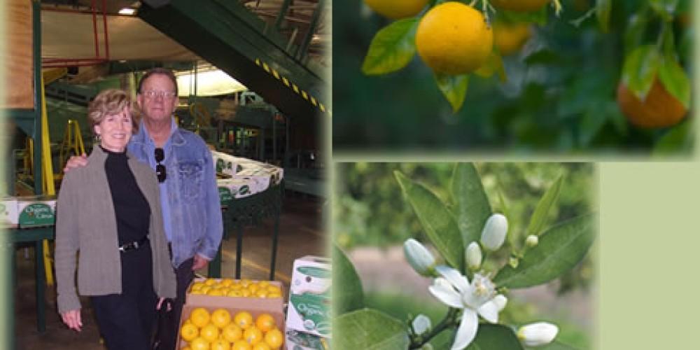 Orange harvest at Wicky Up – Wicky Up Ranch