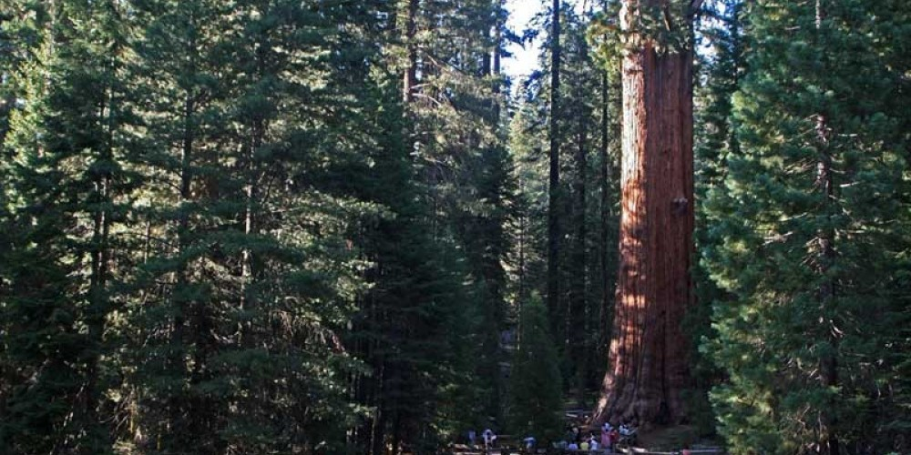 The world's largest tree, the General Sherman, dwarfs park visitors and other neighboring trees. – NPS/Rick Cain