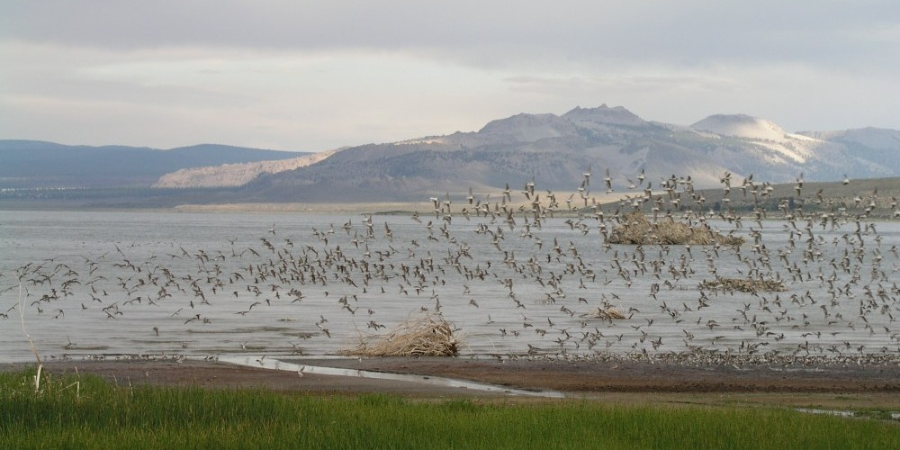 Wilson's Phalaropes at County Park, Mono Lake. – Bartshe Miller