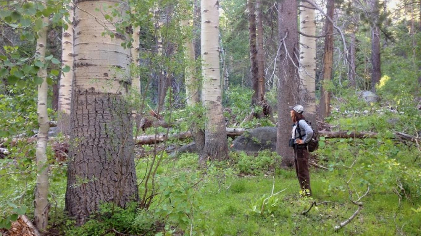 USFS-LTBMU wildlife tech., Debra Scolnick, marvels at some of the grand old aspen in the Upper Christmas Valley during a bird survey with Tahoe Institute for Natural Sciences – Tahoe Institute for Natural Sciences