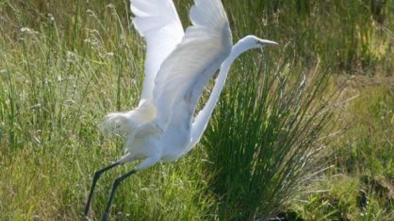 Snowy Egret – John Turner