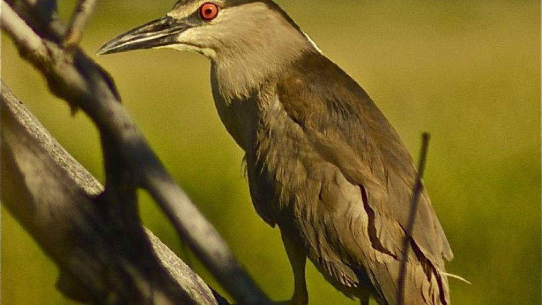 Night Heron – John Kimura