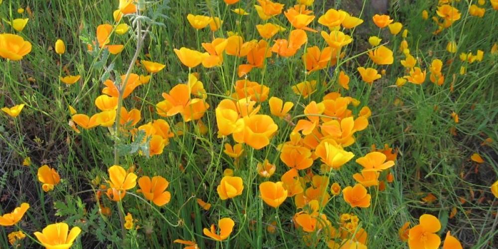 California poppy wildflowers in spring