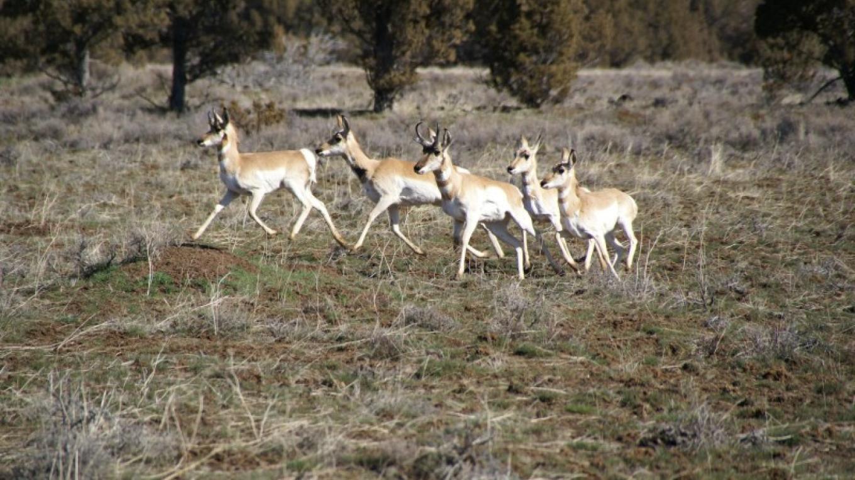 Antelope – Lorissa Soriano