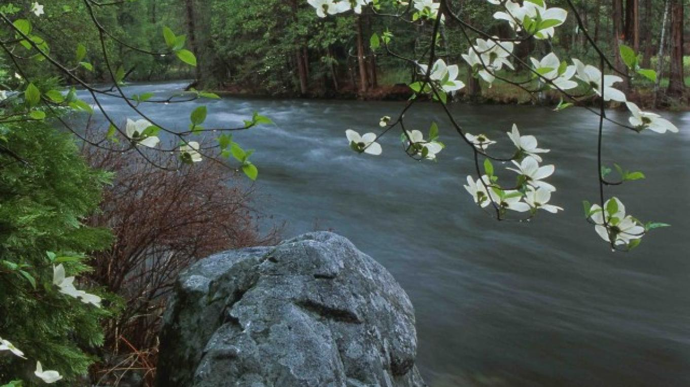 Flowering Dogwood and Merced River, Yosemite, CA – Robb Hirsch