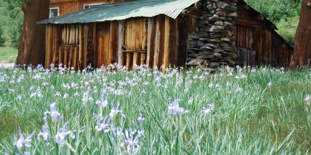 Field of Iris\'s – Sarah McCahill