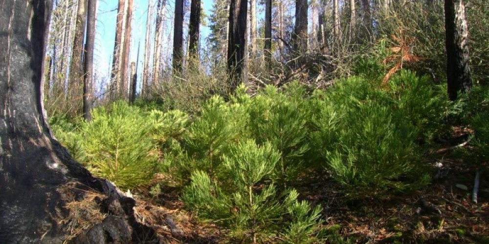 Thickets of baby sequoias grow along the Sugar Bowl Trail. – NPS/Rick Cain