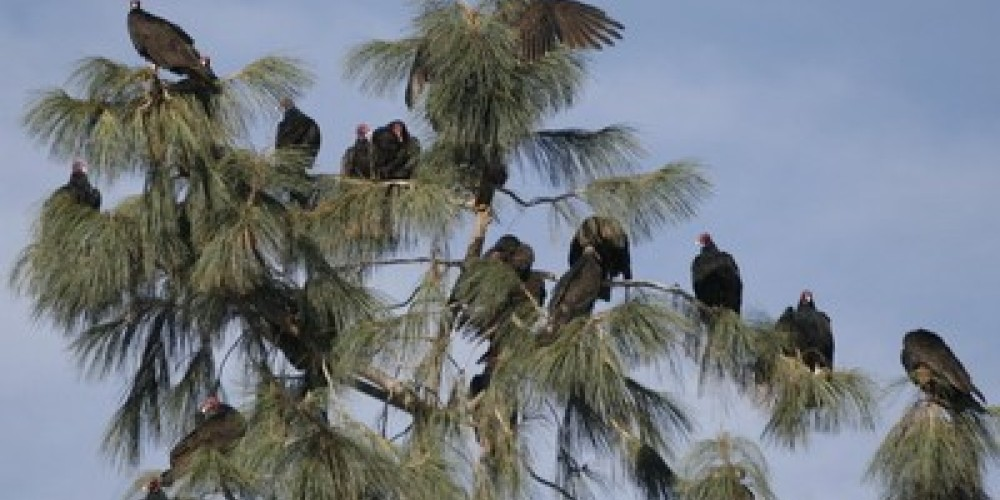 Some of the thousands of Turkey Vultures that migrate through the Kern River Valley roost in a Gray Pine before continuing their migration – Alison Sheehey