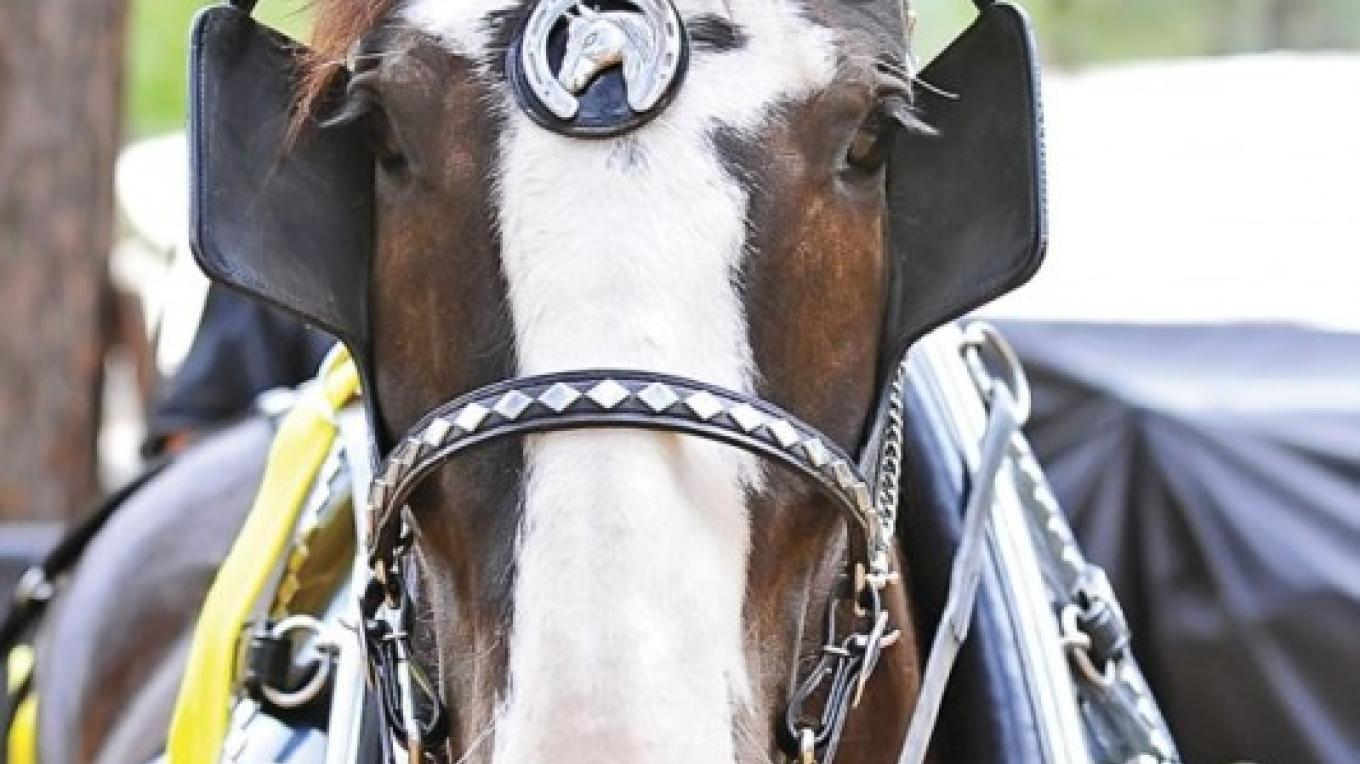 The majestic Draft Horse! – Nevada County Fairgrounds