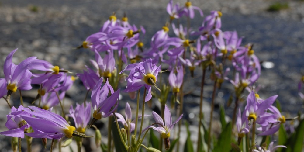 Shooting Stars in full bloom.  These are just one of over 300 varieties of wildflowers seen in the Sierra Nevada during the summer months – Kurt Wedberg
