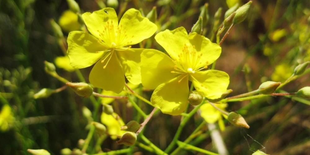 Bisbee Peak rush-rose – Pine Hill Preserve