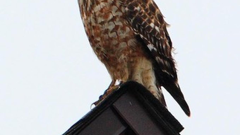 Red Shouldered Hawk – Steve Ryan