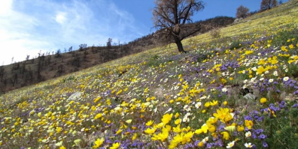 Wild flowers in burned area spring 2011 – Shelley Ellis