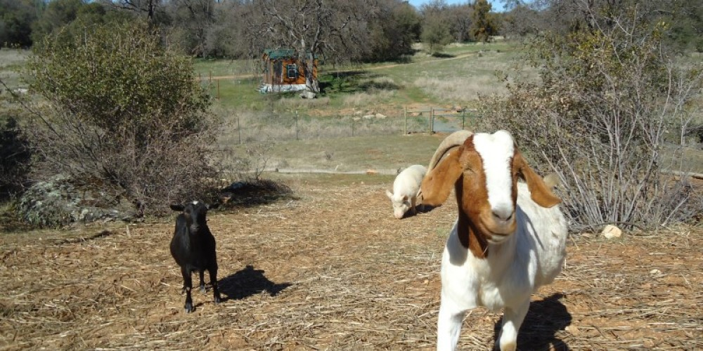 Lucy & Lulu at CAPE's Animal Sanctuary in Grass Valley, CA