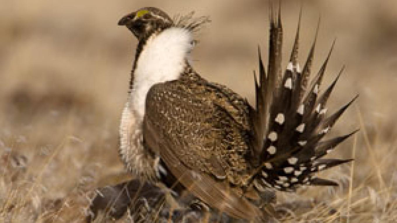 Sage Grouse – Steve Ting