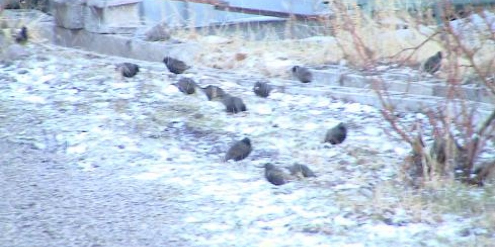 Quail feeding in back lot – Jim Brown