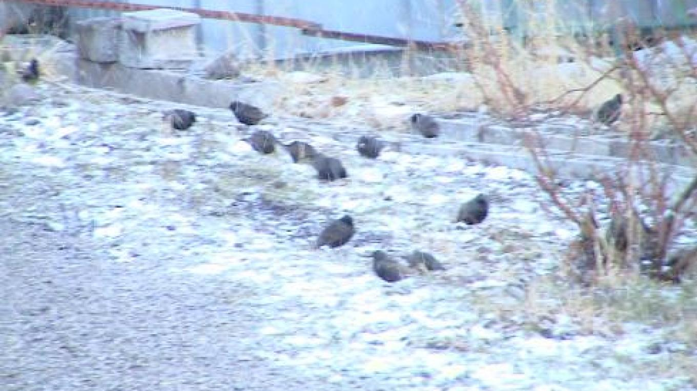 Quail feeding in back lot – Jim Brown