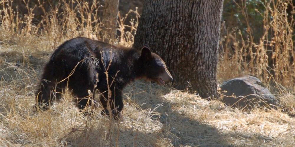 Black Bear, Three Rivers, California – Tom Marshall