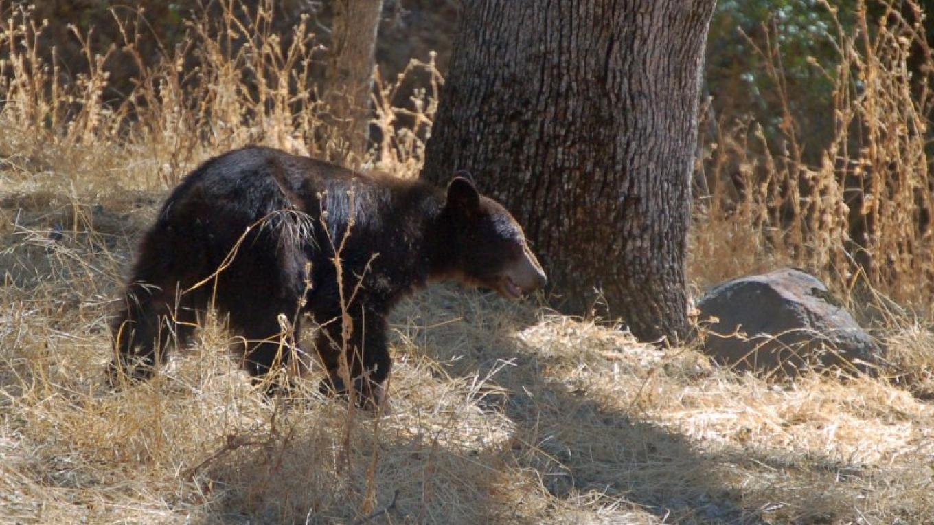 Black Bear, Three Rivers, California – Tom Marshall