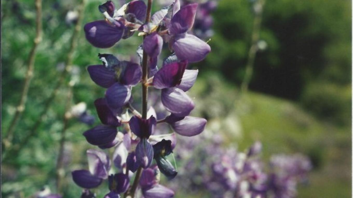 Lupine - Genus: Lupinus. Both bush and single stem Lupine can be found all up and down the trail. – Judith Preuss