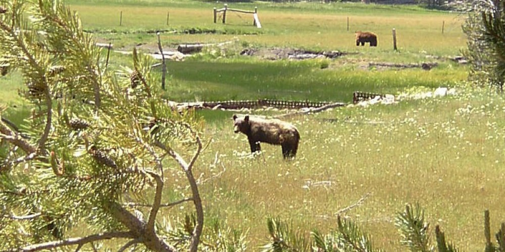 Bears on the Kern Plateau, South of Big Meadow.  Lucky shot to get two! – Frank Brassell
