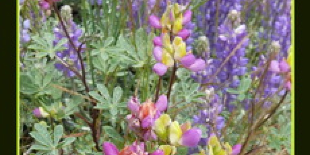 Mixed Lupines – Gay Abarbanell