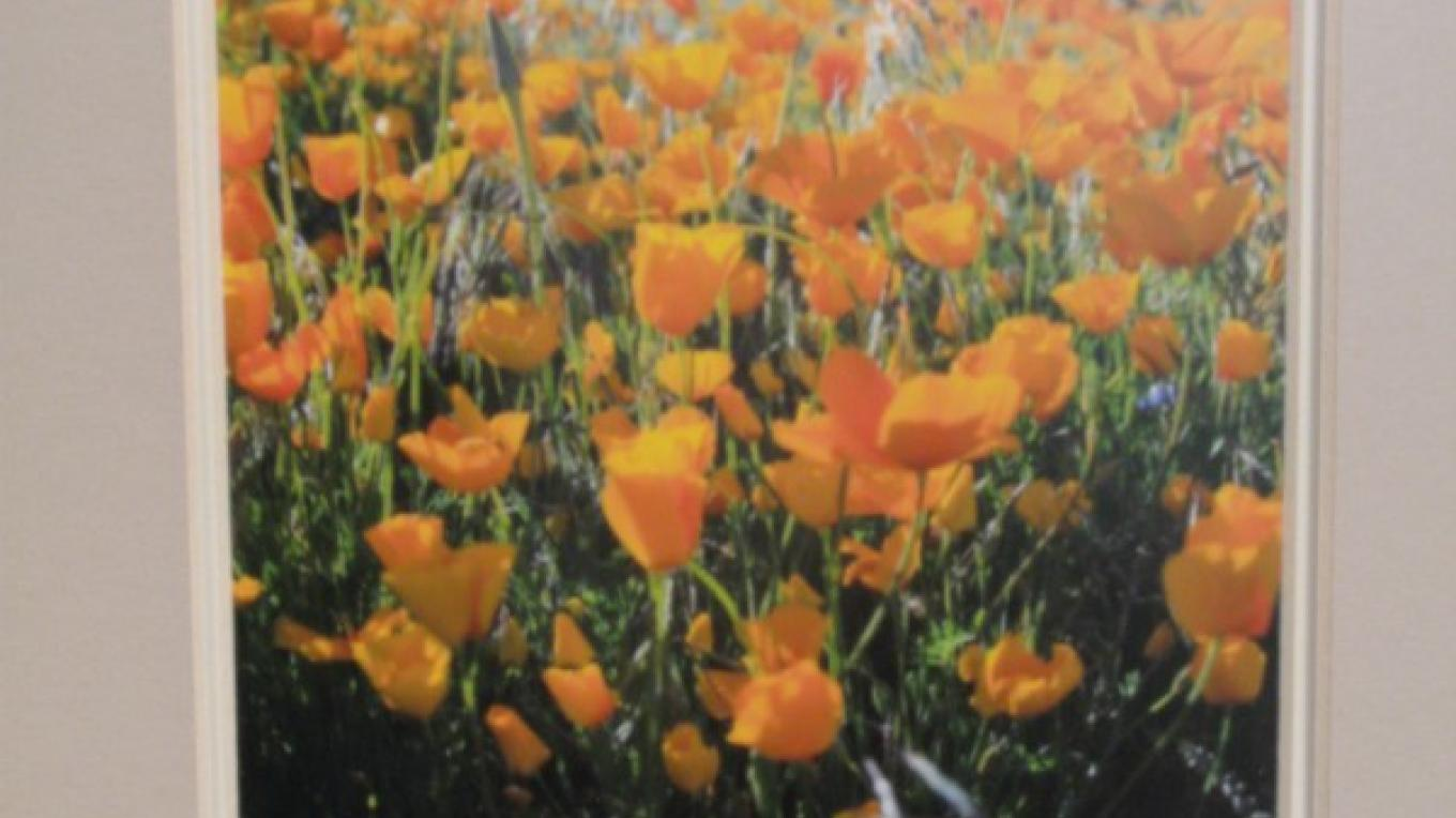 """Spring Poppies in Kernville""