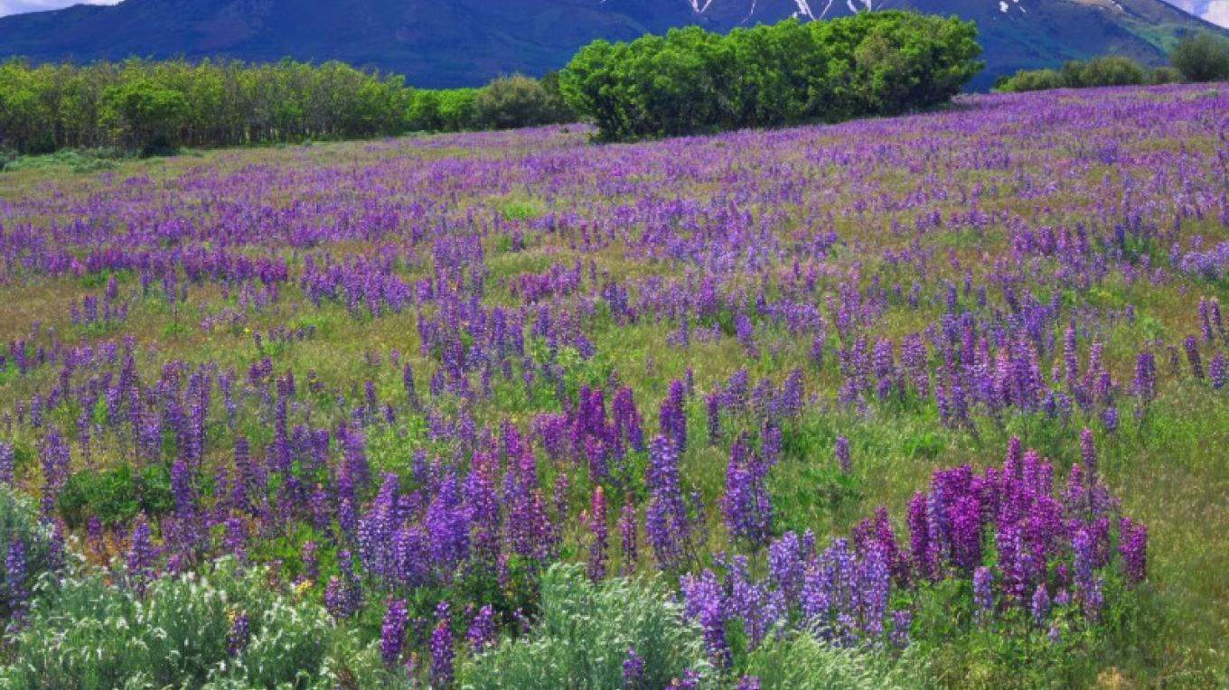 Spring in the Abajo Mountains.  A field of Lupin brightens this mountain meadow. – Tom Till (Copyright)