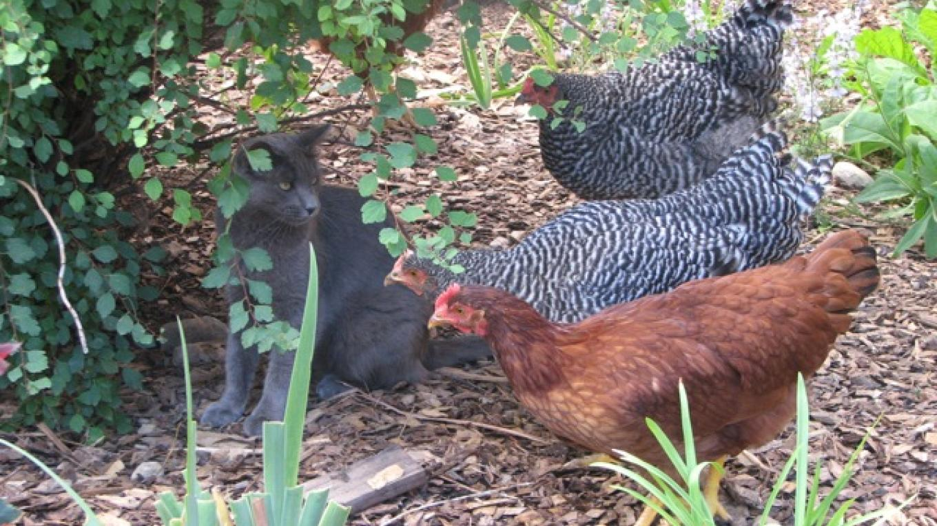 Fresh eggs are available from our chickens (watched over by Sam) – Rebecca Brunk