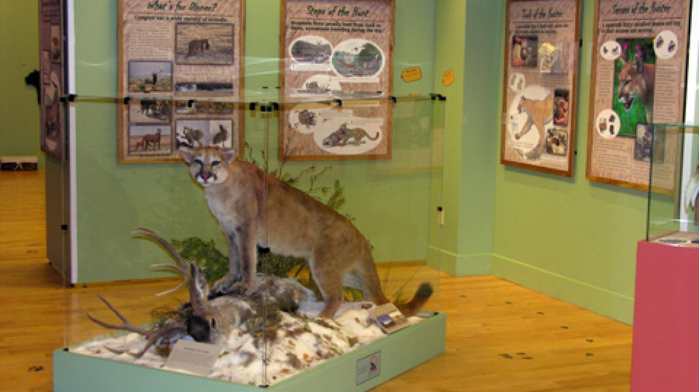 Mountain lion exhibit is an example of Center's focus upon the natural and cultural heritage of the Southwest. – Center of SW Studies