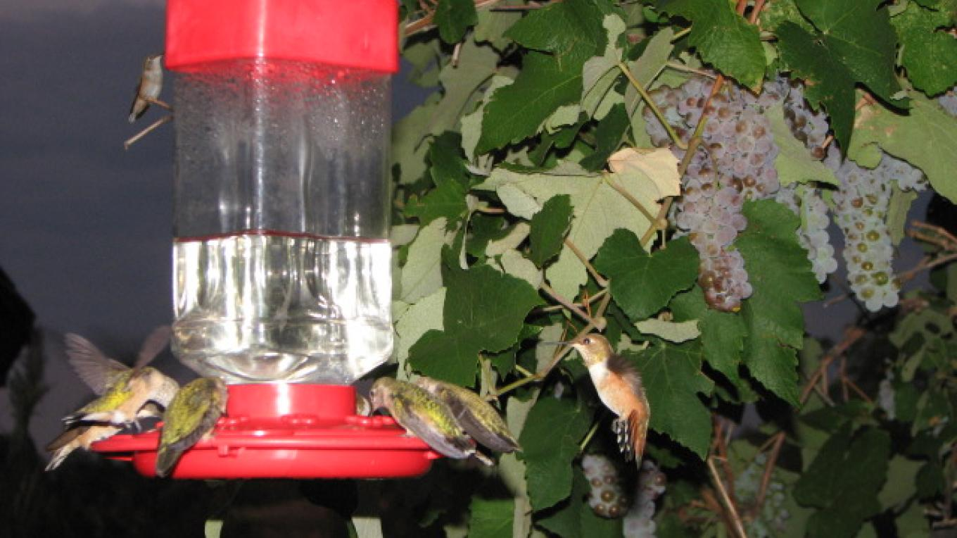 Rufous hummingbirds swarming feeders at dusk – Rebecca Brunk